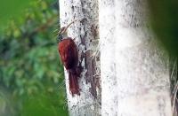 Nasica longirostris; Long-billed woodcreeper; Långnäbbad trädklättrare