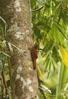 Dendrocolaptes certhia; Amazonian barred woodcreeper; Vattrad trädklättrare
