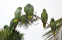 Amazona farinosa; Mealy amazon; Sydlig mjölamazon