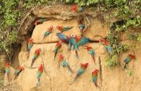 Ara chloropterus; Red-and-green macaw; Grönvingad ara