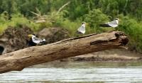Phaetusa simplex; Large-billed tern; Sydamerikansk flodtärna