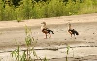 Neochen jubata; Orinoco goose; Orinocogås