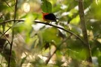 Pipra fasciicauda; Band-tailed manakin; Bandstjärtsmanakin