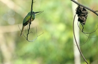 Galbula cyanescens; Bluish-fronted jacamar; Blåpannad jakamar