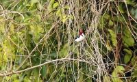 Paroaria gularis; Red-capped cardinal; Brunstrupig kardinaltangara