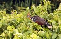 Opisthocomus hoazin; Hoatzin [Stinkbird, Canje pheasant]; Hoatzin