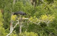 Anhima cornuta; Horned screamer; Hornvärnfågel