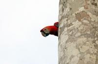 Ara macao; Scarlet macaw; Röd ara