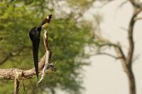 Vidua paradisaea; Eastern paradise whydah; Östlig paradisänka