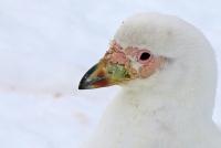 Chionis alba; Snowy sheathbill; Större slidnäbb
