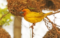 Ploceus subaureus; African golden-weaver; Guldvävare