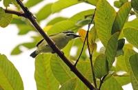 Pogoniulus bilineatus; Yellow-rumped tinkerbird; Gulgumpad dvärgbarbett