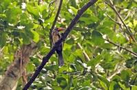 Tockus alboterminatus; Crowned hornbill; Krontoko