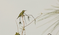 Merops persicus; Blue-cheeked bee-eater; Grön biätare