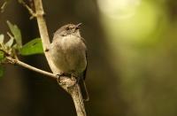 Muscicapa adusta; African dusky flycatcher; Mörkgrå flugsnappare