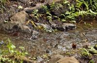 Motacilla cinerea; Gray wagtail; Forsärla