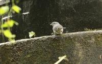 Melaenornis fischeri; White-eyed slaty-flycatcher; Vitögd flugsnappare