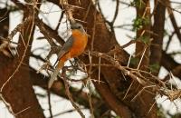Empidornis semipartitus; Silverbird; Silverflugsnappare