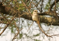 Bradornis microrhynchus; African gray flycatcher; Törnflugsnappare