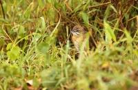 Melocichla mentalis; Moustached grass warbler; Mustaschsångare