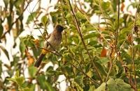 Pycnonotus barbatus; Common bulbul; Trädgårdsbulbyl