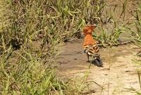 Upupa africana; African hoopoe; Afrikansk härfågel