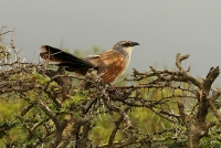 Centropus superciliosus; White-browed coucal; Vitbrynad sporrgök