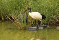 Threskiornis aethiopicus; Sacred ibis; Helig ibis