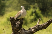 Streptopelia capicola; Ring-necked dove; Kapturturduva