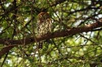 Glaucidium perlatum; Pearl-spotted owlet; Pärlsparvuggla