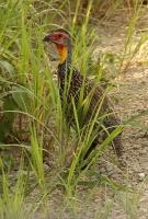 Francolinus leucoscepus; Yellow-necked [spurfowl] francolin; Gulstrupig frankolin
