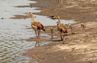 Alopochen aegyptiacus; Egyptian goose; Nilgås