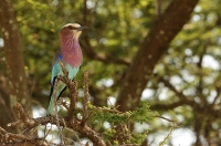 Coracias caudata; Lilac-breasted roller; Lilabröstad blåkråka