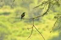 Cinnyris pulchellus; Beautiful sunbird; Smyckesolfågel