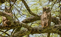 Bubo lacteus; Verreaux's eagle-owl; Mjölkuv