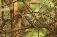 Muscicapa striata balearica; Spotted flycatcher; [Balearisk] Grå flugsnappare