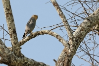Falco concolor; Sooty falcon; Sotfalk