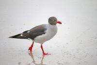 Chroicocephalus [Larus] cirrocephalus; Grey-headed [Gray-hooded] gull; Gråhuvad mås