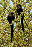 Corvinella melanoleuca; Magpie shrike; Skattörnskata