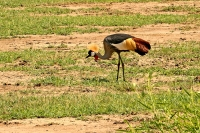 Balearica regulorum; Gray crowned crane; Grå krontrana