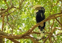 Ceratogymna brevis; Silvery-cheeked hornbill; Silverkindad näshornsfågel