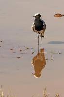 Vanellus armatus; Blacksmith plover; Smedvipa