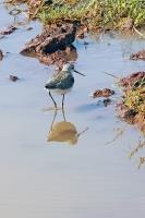 Tringa stagnatilis; Marsh sandpiper; Dammsnäppa