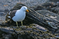 Larus dominicanus; Kelp gull; Kelptrut