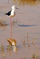 Himantopus himantopus; Black-winged [Common pied] stilt; Styltlöpare