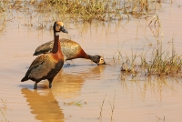 Dendrocygna viduata; White-faced whistling-duck; Vithuvad visseland