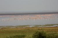 Phoenicopterus roseus; Greater flamingo; Större flamingo