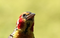 Trachyphonus erythrocephalus; Red-and-yellow barbet; Termitbarbett