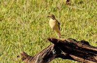 Anthus cinnamomeus; African [Grassland/Grassveld] pipit; Afrikansk piplärka