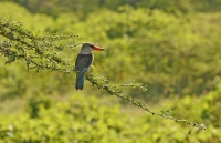 Halcyon senegalensis; Woodland kingfisher; Savannkungsfiskare